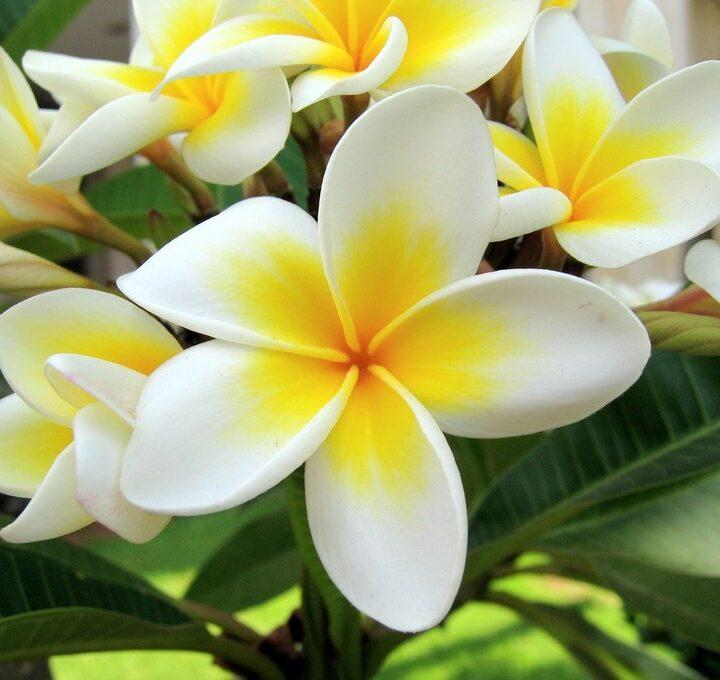 Manfaat Bunga Kamboja Yang Jarang DI Ketahui